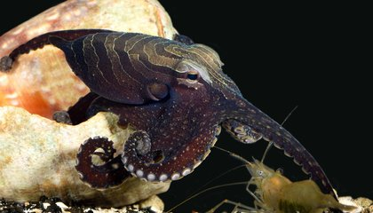 Tropical Octopus Definitely Mates Beak-to-Beak