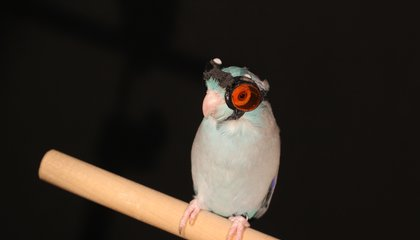 Tiny Adorable Bird Goggles Allow Innovative Study of Flight