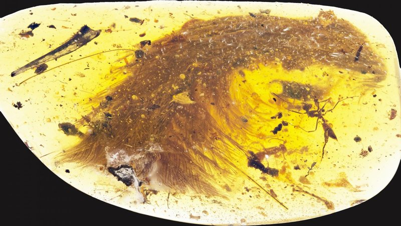 The tip of a preserved dinosaur tail section, trapped in amber, shows feathers arranged in keels down both sides.