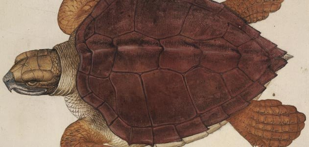 John White illustration of an Atlantic loggerhead