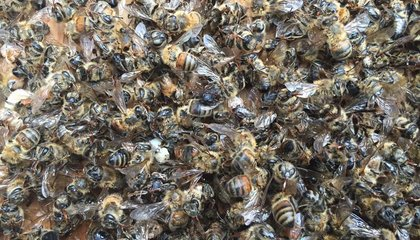 """Mosquito Sprayers Accidentally """"Nuke"""" Millions of Bees in South Carolina"""