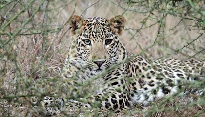 Conserving Tigers Could Hurt Leopards