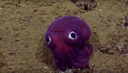 Adorable Stubby Squid Found Off the Coast of Southern California