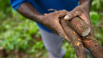 How the Gates Foundation Is Making Cassava the Next Corn