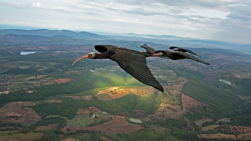 Northern bald ibises in flight formation above Tuscany.