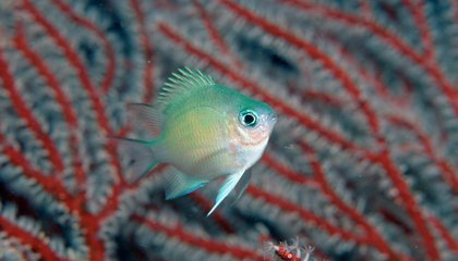 Fish Can Adjust Gender Balance in Face of Rising Temperatures