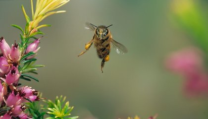 Ancient Bees Were Voracious Snackers on Their Pollen-Gathering Treks