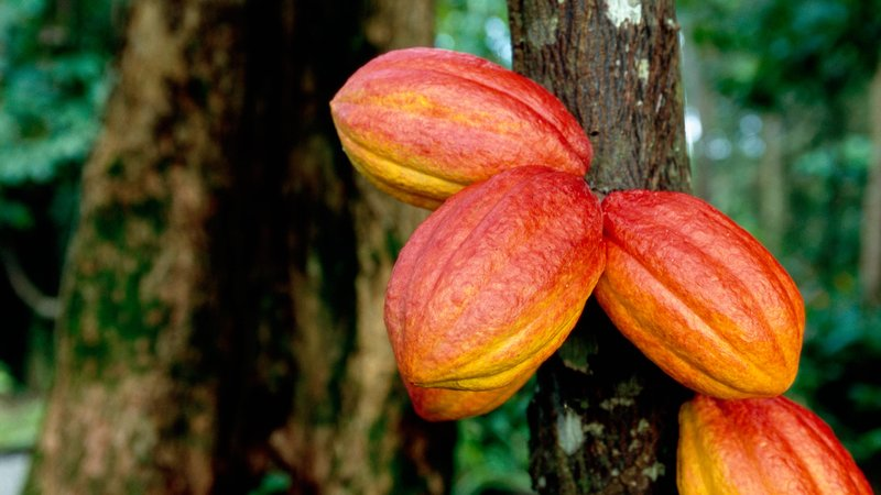 Cocoa pods look ripe for harvest on a cacao tree in Honduras.