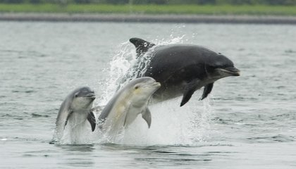 Like Humans, Dolphins' Genetics Are Shaped by Their Culture