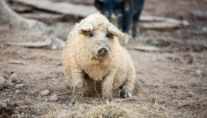 Fuzzy Pigs, Squash Swords And More of the World's Amazing, Vanishing Heirloom Breeds