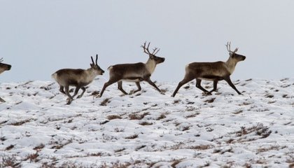 Where's Rudolph? Inside the Decline of Alaska's Caribou