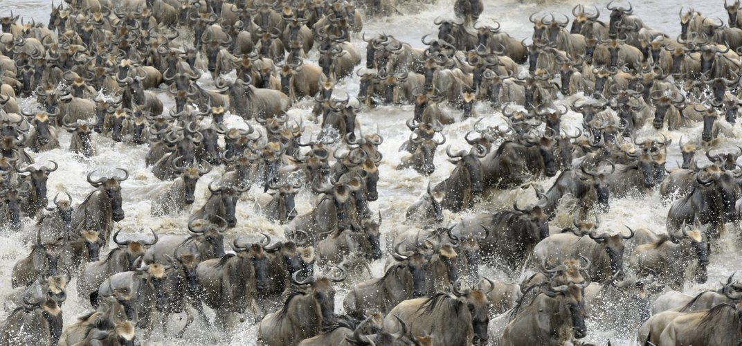 Wildebeest on the move during the Great Migration