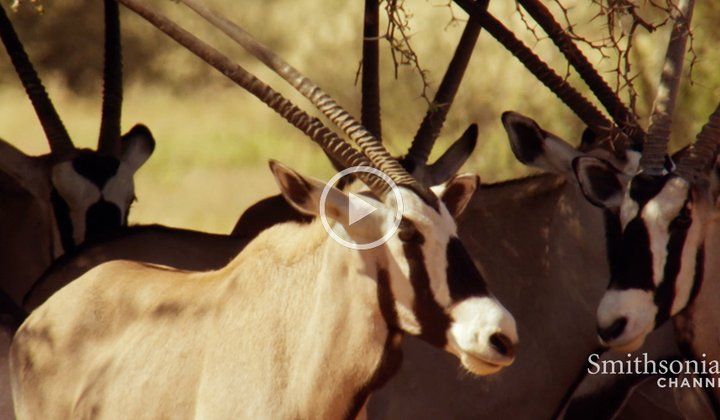 How the Desert Oryx Stops Its Brain From Frying