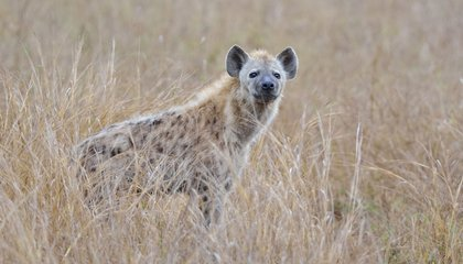 North America Used to Have its Very Own Hyena