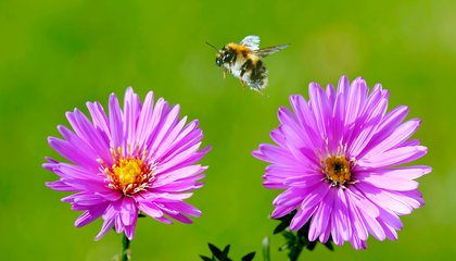 "Bees Can Learn to Play ""Soccer."" Score One for Insect Intelligence"