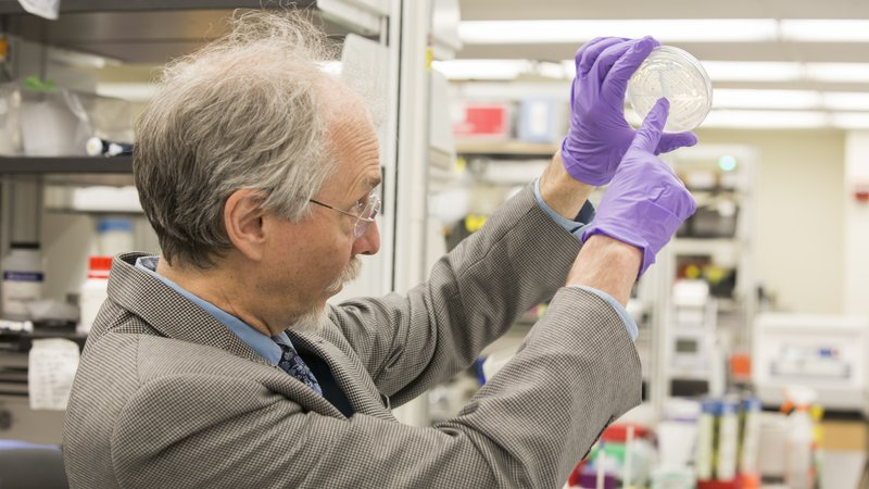 Geneticist Jef Boeke examines a plate of yeast colonies containing a synthetic version of a specific chromosome