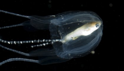 A New, Potentially Deadly Species of Jellyfish Was Discovered Floating Around Australia