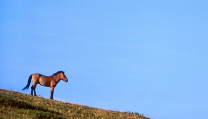 The Last Wild Horses Are Rebounding From Extinction