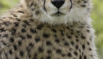 Smithsonian Events for the Week of 9/28-10/2: Climate Change, Cheetahs, Tito Puente and Reading About Africa