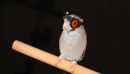 How a Goggle-Wearing Parrot Could Help Future Robots Fly