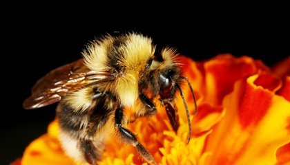 Bumblebees Detect a Flower's Electric Buzz With Their Fuzz