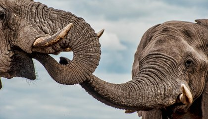 Elephants Have Male Bonding Rituals, Too