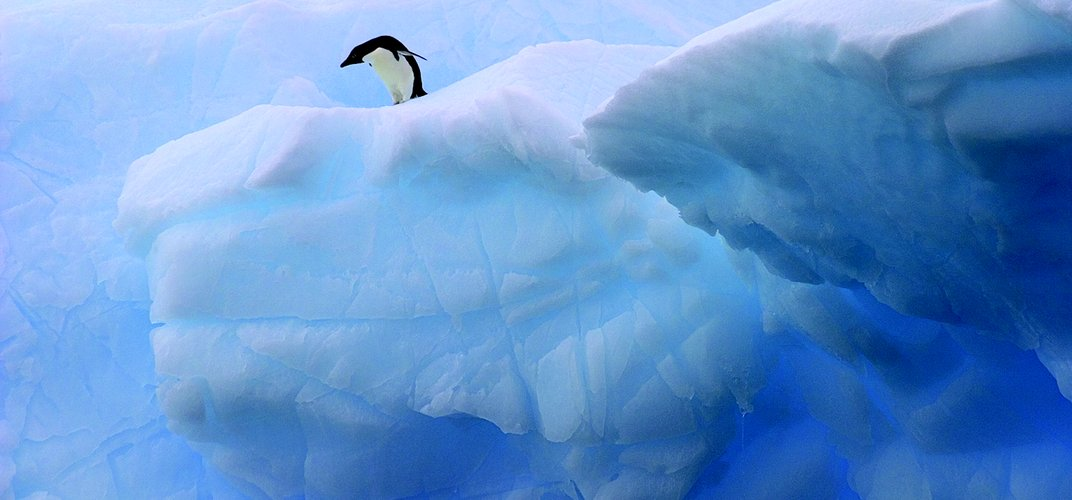 Solitary penguin about to jump.  Credit: Cara Sucher