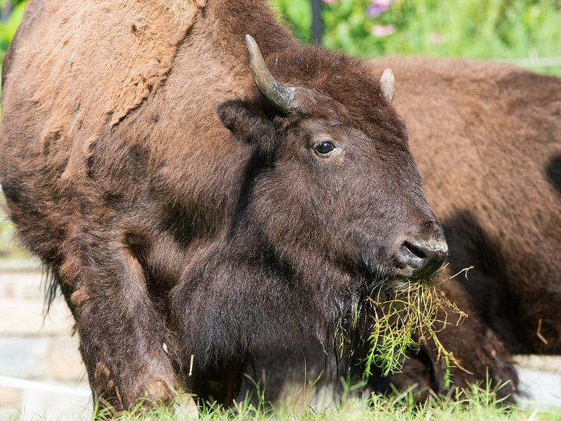 New bison