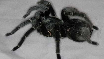 Meet the Prize-Winning Spiders From the British Tarantula Society's Annual Competition