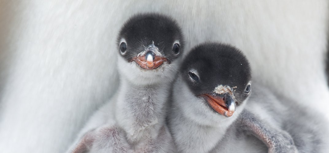Two young Adélie penguins. Credit: Richard Sidey