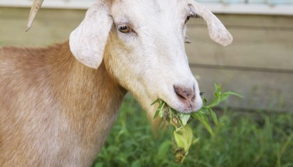 Goats Evicted In Detroit