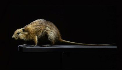 How Settlers Wiped Out the Caribbean's Rodents of Unusual Size