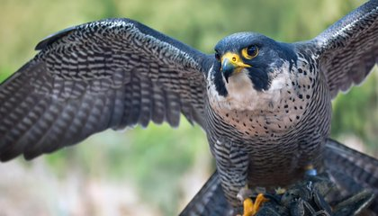 Ten Fun Facts About Falcons, the Birds