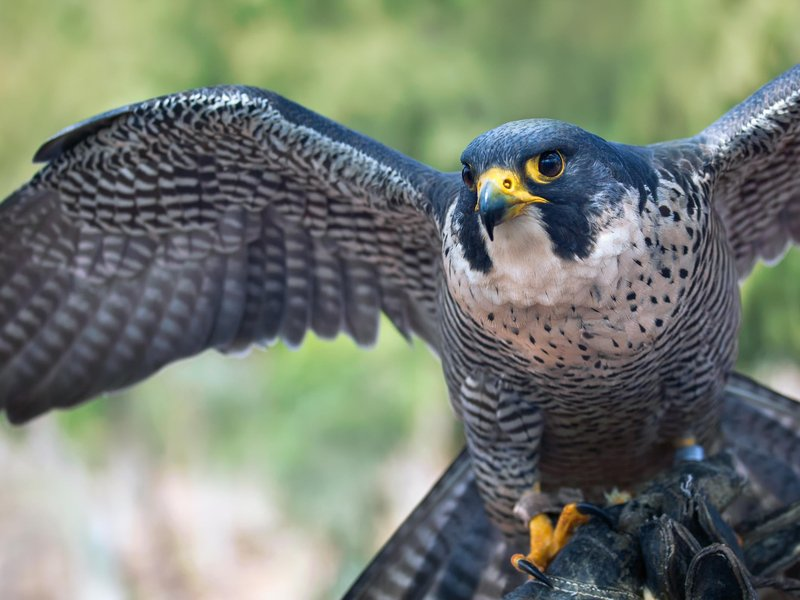 War Related Bird Claw Quote: Ten Fun Facts About Falcons, The Birds