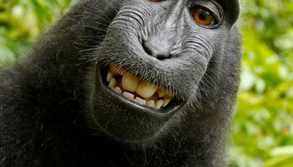 PETA Wants a Selfie-Snapping Monkey to be Granted Copyright to its Photo