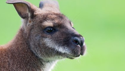 Wallabies Can Sniff Out Danger in Poop