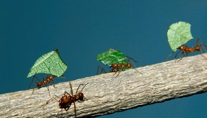 How Ants Became the World's Best Fungus Farmers
