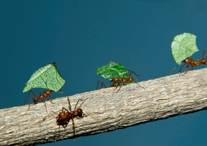 Caption: How Ants Became the World's Best Fungus Farmers