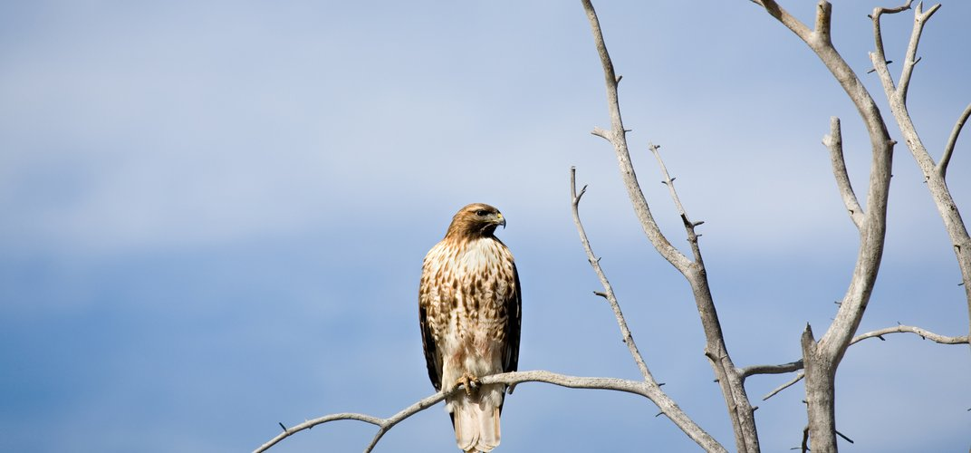 Raptor perched on a tree, Yellowstone National Park