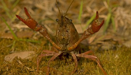 Crawfish, Like Humans, Are Anxious Worrywarts