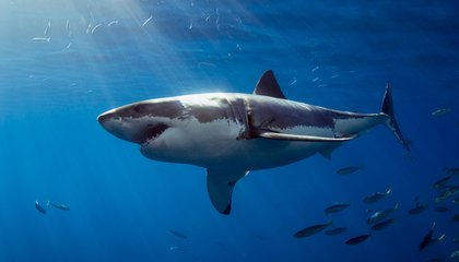Sharks Have Scary-Good Memories