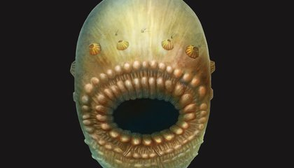 Bag-Like, Big-Mouthed Sea Creature Could Be Earliest Human Ancestor