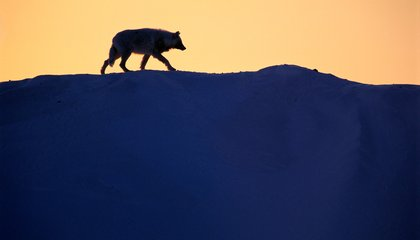World's Loneliest Wolf Is No Longer So Lonely