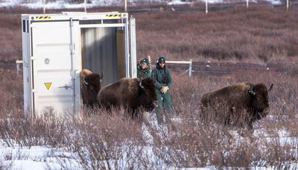 Bison Back in Banff After 130 Years