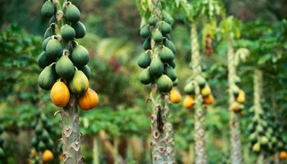 You Can Thank the Ancient Maya for Your Grocery Store's Papaya