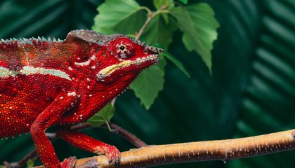 We Finally Know How Chameleons Change Their Color
