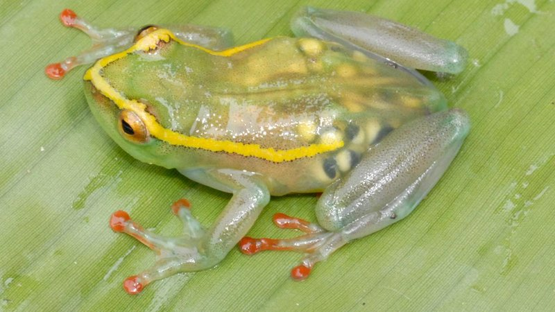 Plump with eggs, this translucent frog (<i>Hyperolius leucotaenius</i>) is one of five amphibian species Greenbaum and his team rediscovered in 2011 in the remote Congolese forests. It was the first documented sighting of these creatures since 1954.