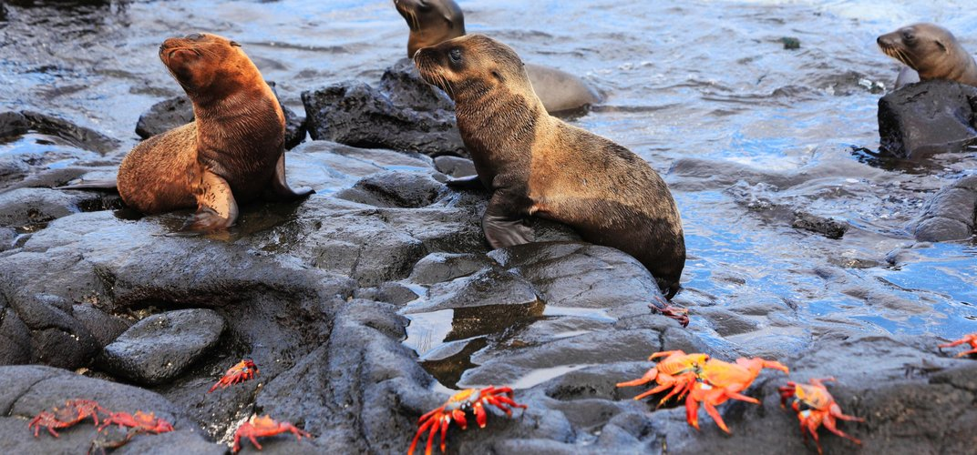 Seals and Sally Lightfoot crabs