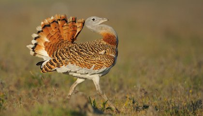 Male Great Bustards Eat Poison to Look Sexier for the Ladies