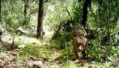 The Only Known Jaguar in America Was Finally Caught on Video